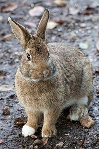 coniglio