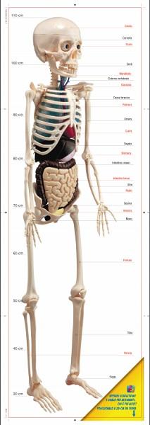 il mio corpo umano scheletro