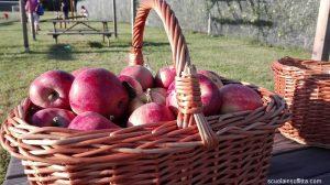 Raccolta mele al frutteto di Ceriano Laghetto